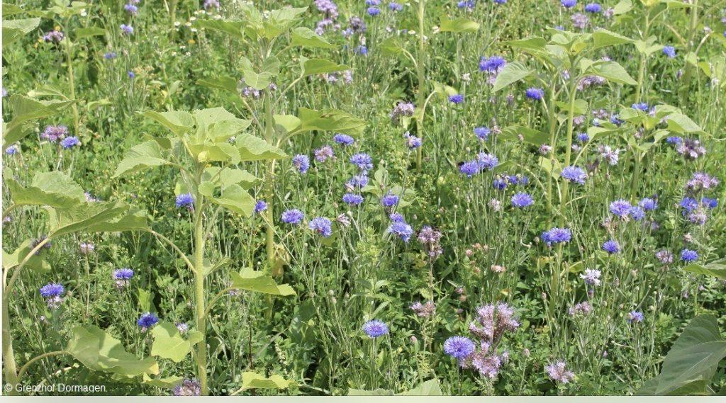 Blumenwiese zur Rettung der heimischen Bienen