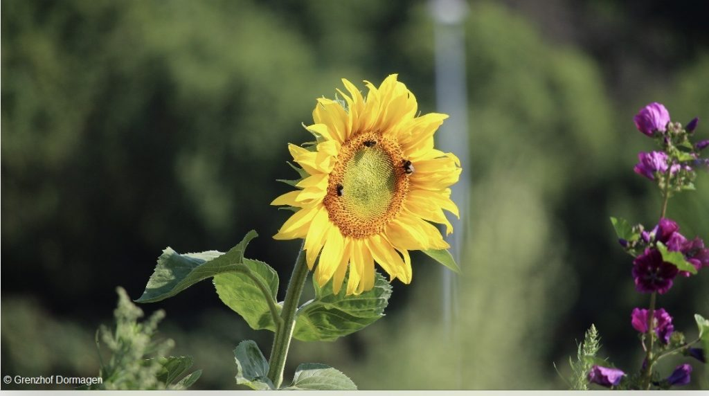 Blühwiesen-Patenschaft zur Rettung der heimischen Bienen
